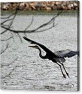 Great Blue Heron In Flight 6 Acrylic Print