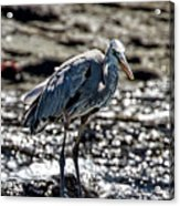 Great Blue Heron In Galapagos Acrylic Print