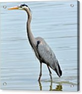 Great Blue Heron In River Acrylic Print