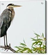 Great Blue Heron in the Rain Acrylic Print