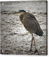Great Blue Heron In The Snow Acrylic Print