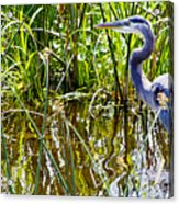 Great Blue Heron In The Wetlands Acrylic Print