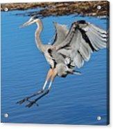Great Blue Heron Landing In The Marsh Acrylic Print