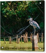 Great Blue Heron Mouth Acrylic Print