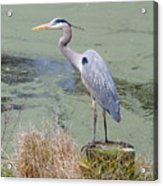 Great Blue Heron Near Pond Acrylic Print