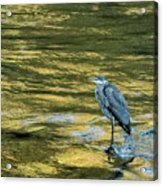 Great Blue Heron On A Golden River Acrylic Print