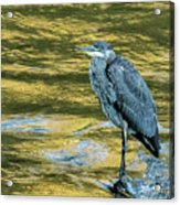 Great Blue Heron On A Golden River Vertical Acrylic Print