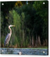 Great Blue Heron On A Handrail Acrylic Print