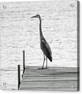 Great Blue Heron On Dock - Keuka Lake - Bw Acrylic Print