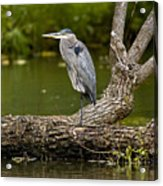 Great Blue Heron On Log Acrylic Print
