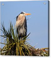 Great Blue Heron On Nest In A Palm Tree Acrylic Print