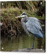 Great Blue Heron On The Watch Acrylic Print by George Randy Bass
