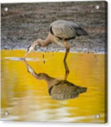 Great Blue Heron On Yellow Acrylic Print