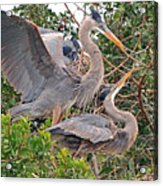 Great Blue Heron Pair  Acrylic Print