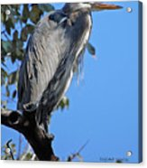 Great Blue Heron Perched Acrylic Print