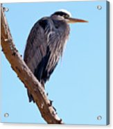 Great Blue Heron Perched On Tree Branch Acrylic Print