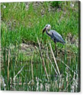 Great Blue Heron Series 5 Of 10 Acrylic Print