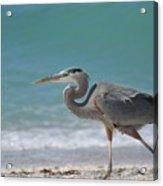 Great Blue Heron Strolling On The Beach Acrylic Print