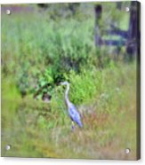 Great Blue Heron Visitor Acrylic Print