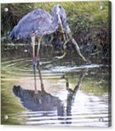Great Blue Heron Vs Huge Frog Acrylic Print