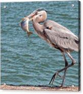 Great Blue Heron Walking With Fish #3 Acrylic Print