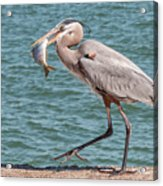 Great Blue Heron Walking With Fish #4 Acrylic Print