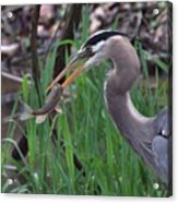 Great Blue Heron With His Catch Acrylic Print