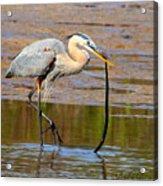 Great Blue Heron Wrestles A Snake Acrylic Print