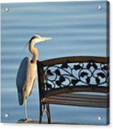 Great Blue Heron....resting My Leg Acrylic Print