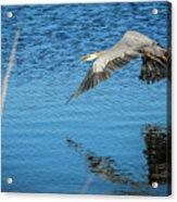 Great Blue In Flight #3 Acrylic Print