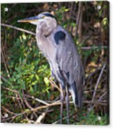 Great Blue Just Chillin' Acrylic Print