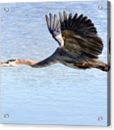 Great Blue Lift Off Series 4 Acrylic Print