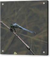 Great Blue Skimmer Dragonfly Acrylic Print