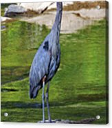 Great Blue Wading The Tuck Acrylic Print