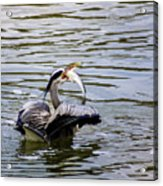 Great Blue With A Drum Acrylic Print