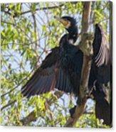 Great Cormorant - High In The Tree Acrylic Print