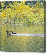 Great Crested Grebe Acrylic Print