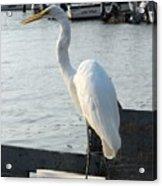 Great Egret 25 Acrylic Print