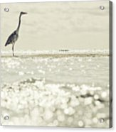 Great Egret Aka Great White Grey Heron In Maldives Acrylic Print