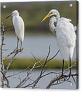 Great Egret And Snowy Egret Perched Acrylic Print