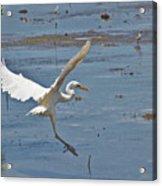 Great Egret Ascending Acrylic Print