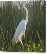 Great Egret At Coba Village Acrylic Print