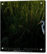 Great Egret At Ft George Inlet  Acrylic Print
