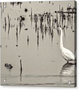 Great Egret At Horicon - B - W  Acrylic Print