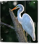 Great Egret At Rest Acrylic Print