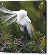 Great Egret Bridal Train Acrylic Print