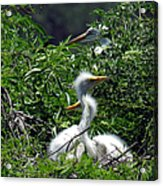 Great Egret Chicks 2 Acrylic Print