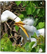 Great Egret Chicks And Mom Acrylic Print