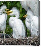 Great Egret Chicks Acrylic Print