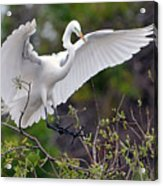 Great Egret Coming In For Landing Acrylic Print